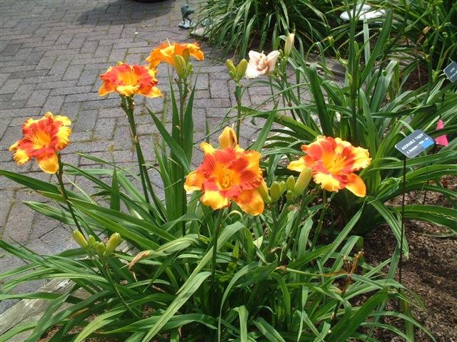 Hemerocallis-Adorable-Tiger-3