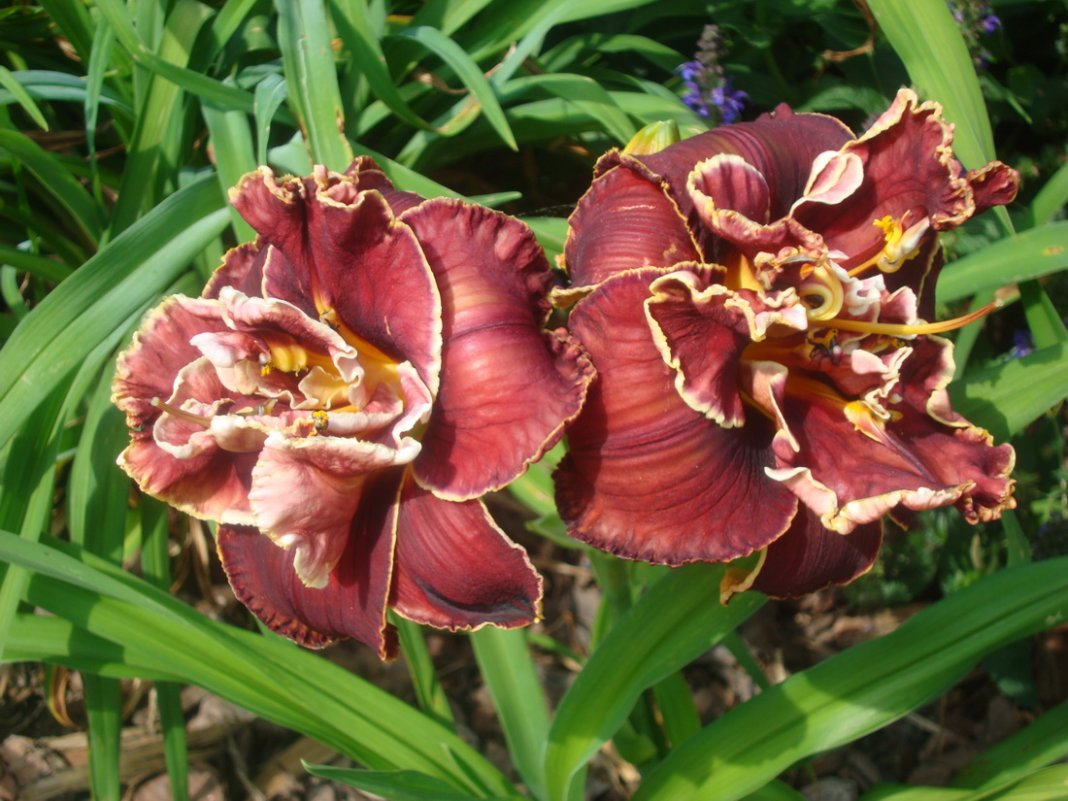 Hemerocallis-Cranberry-Christmas-3