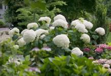 Гортензия древовидная (Hydrangea arborescens)