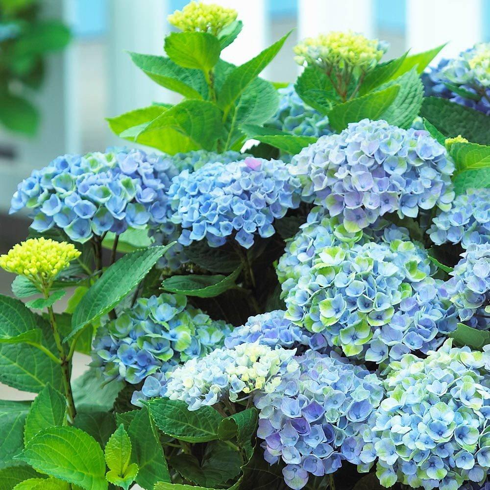 Hydrangea-macrophylla-Magical-Revolution-Blue-2