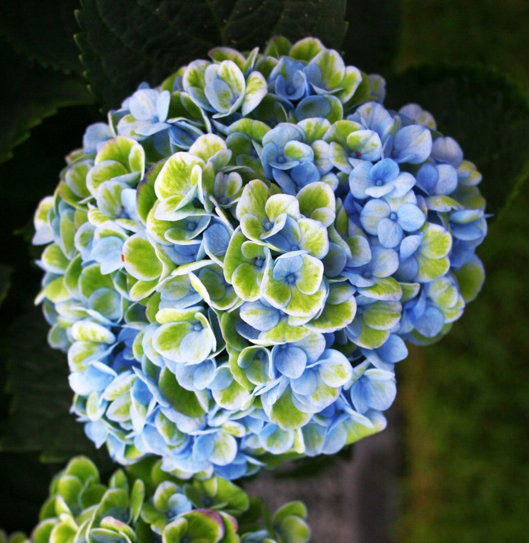 Hydrangea-macrophylla-Magical-Revolution-Blue-3