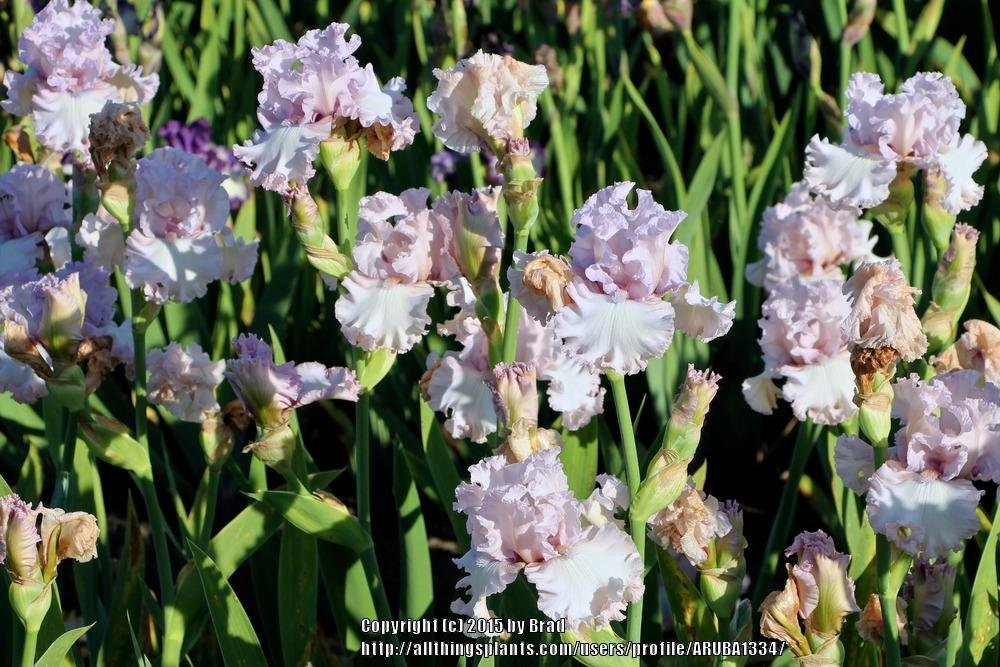 Iris-Poem-of-Love-3