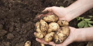 Выкопка картофеля
