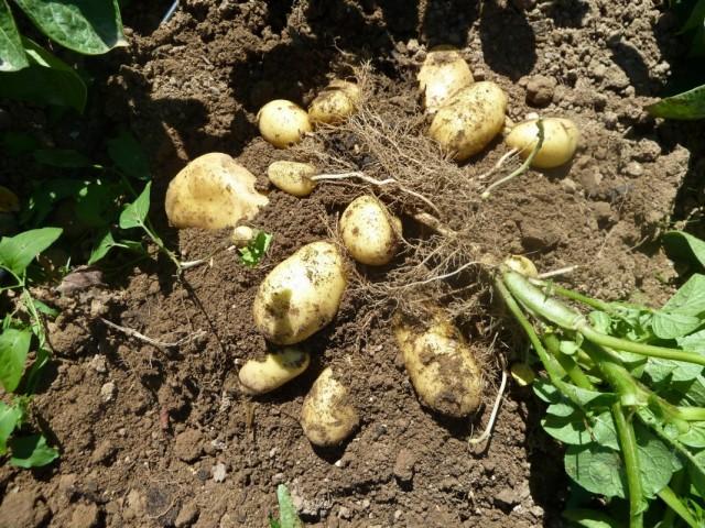 Выкопка куста картофеля