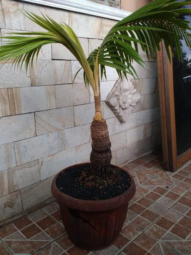 Выращивание кокосовой пальмы в домашних условиях