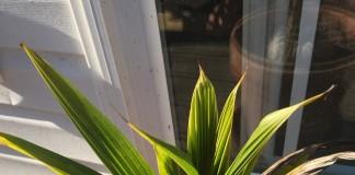 Пророщенная в домашних условиях кокосовая пальма