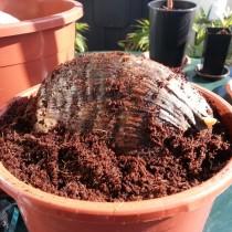 Посадка кокоса в горшок для проращивания
