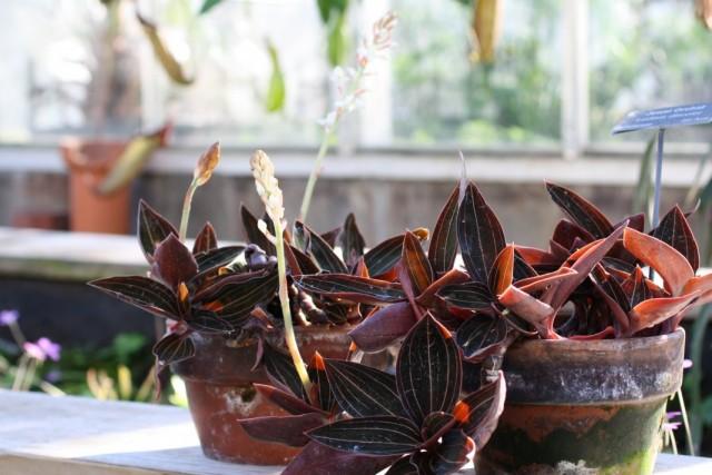 Драгоценная орхидея Лудизия (Ludisia)