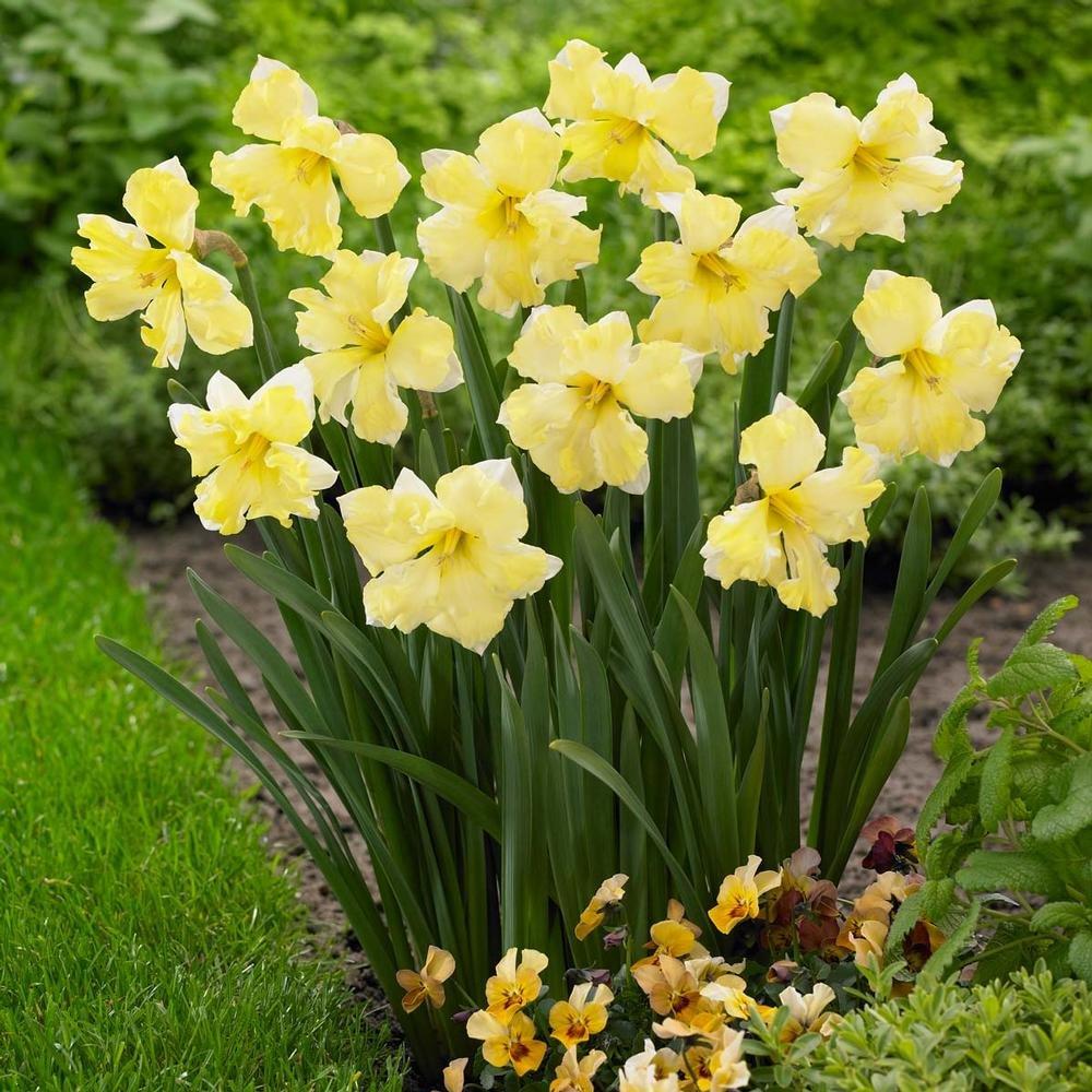 Narcissus-Cassata-3