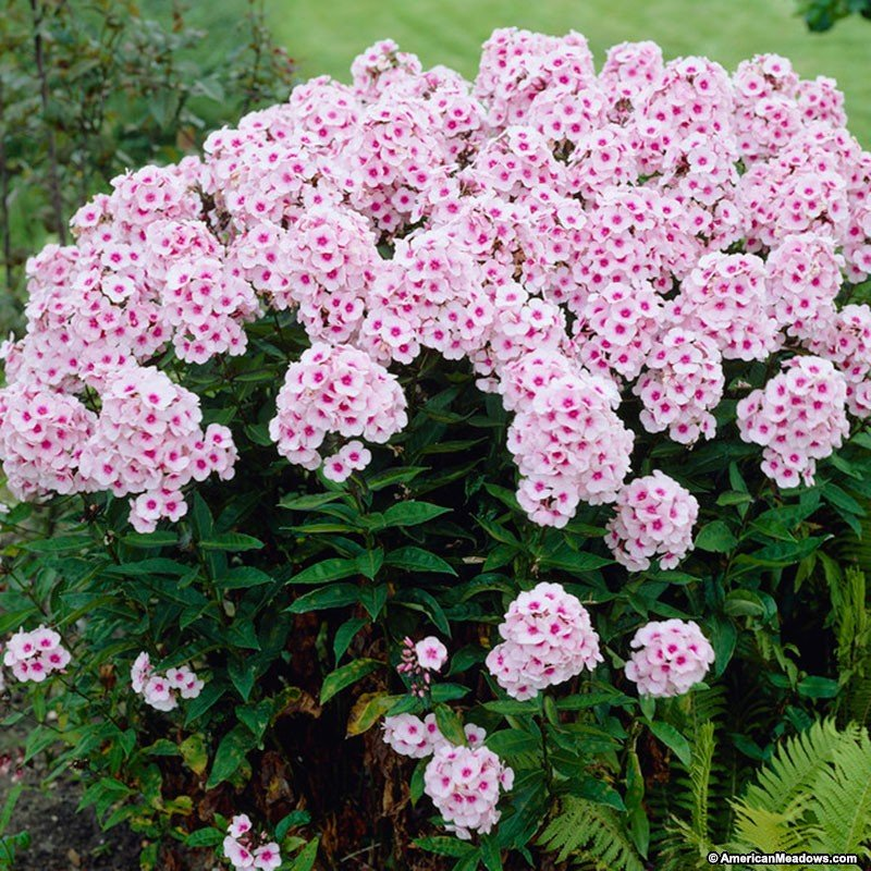 Phlox-paniculata-Bright-Eyes-3