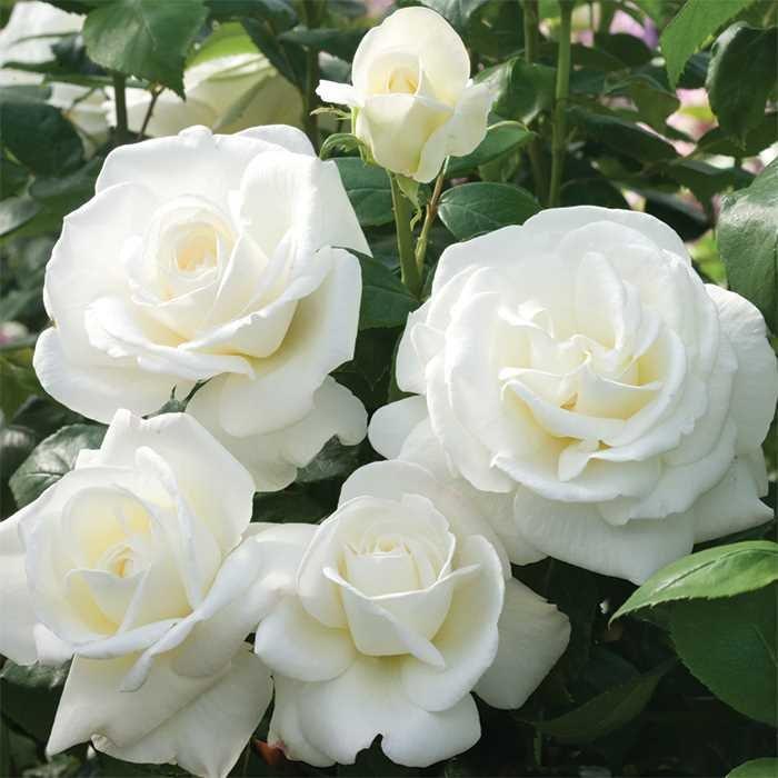 Rose-Sugar-Moon-1