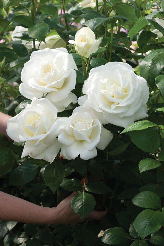 Rose-Sugar-Moon-2