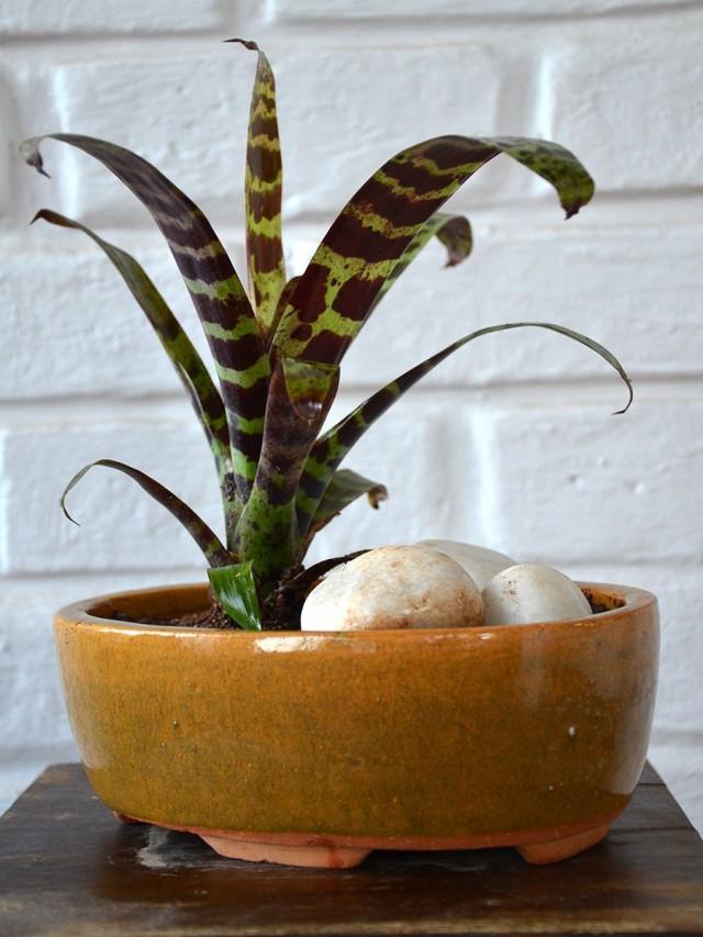 Вриезия прекрасная, или блестящая (Vriesea splendens)