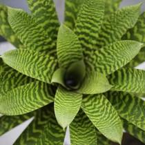 Вриезия (Vriesea)