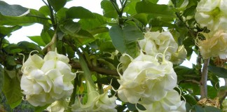 Бругмансия (Brugmansia)