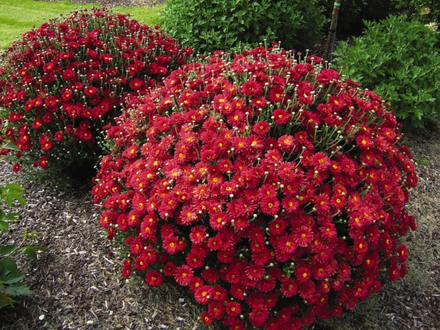 Кусты хризантем в саду