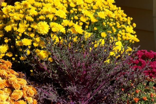 Выращивание хризантем в цветнике