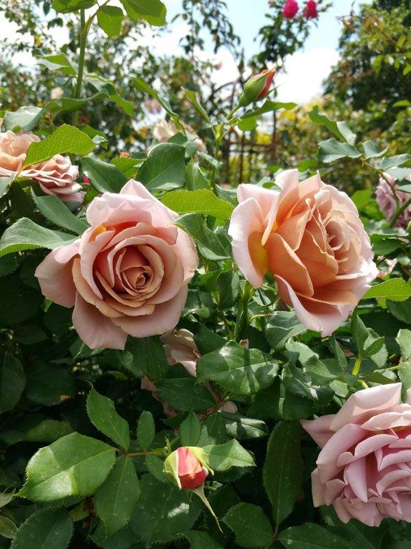 rose-Soul-Sister-3