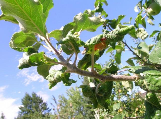 Скручивание листьев на яблоне