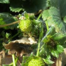 Клубника, пораженная паутинным клещом