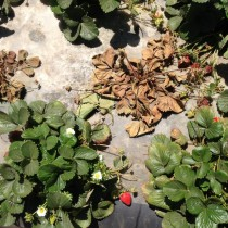Погибшие растения клубники, пораженные земляничной нематодой