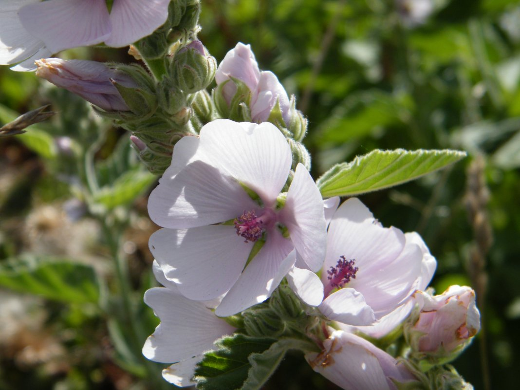 Althaea-officinalis