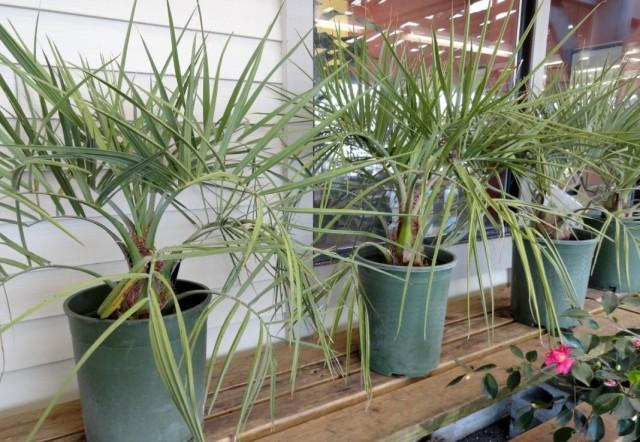 Пальмы Бутия головчатая в контейнерах