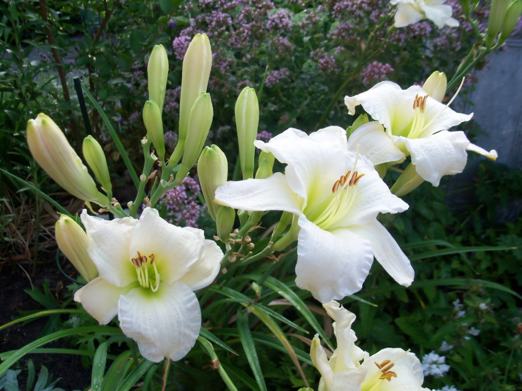 Hemerocallis-Gentle-Shepherd-2