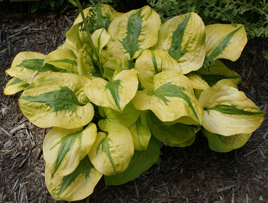 Hosta-Stitch-In-Time-1