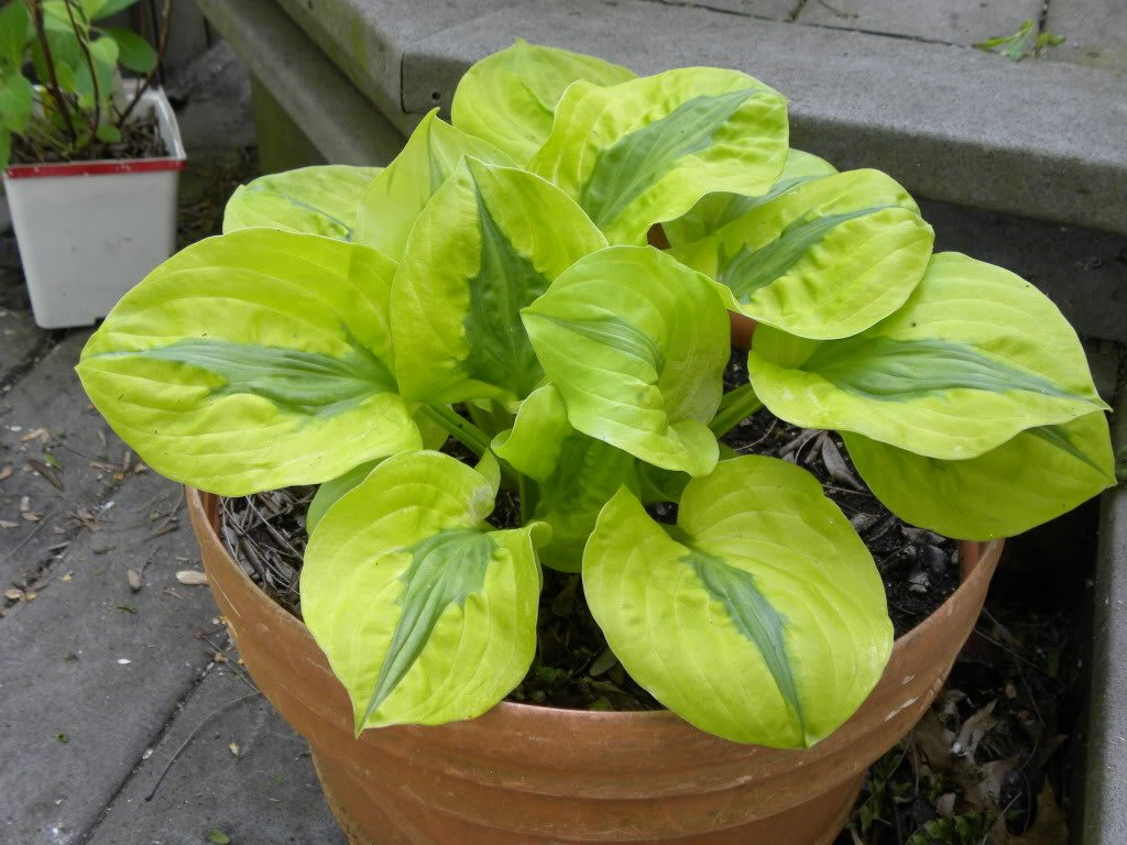 Hosta-Stitch-In-Time-2