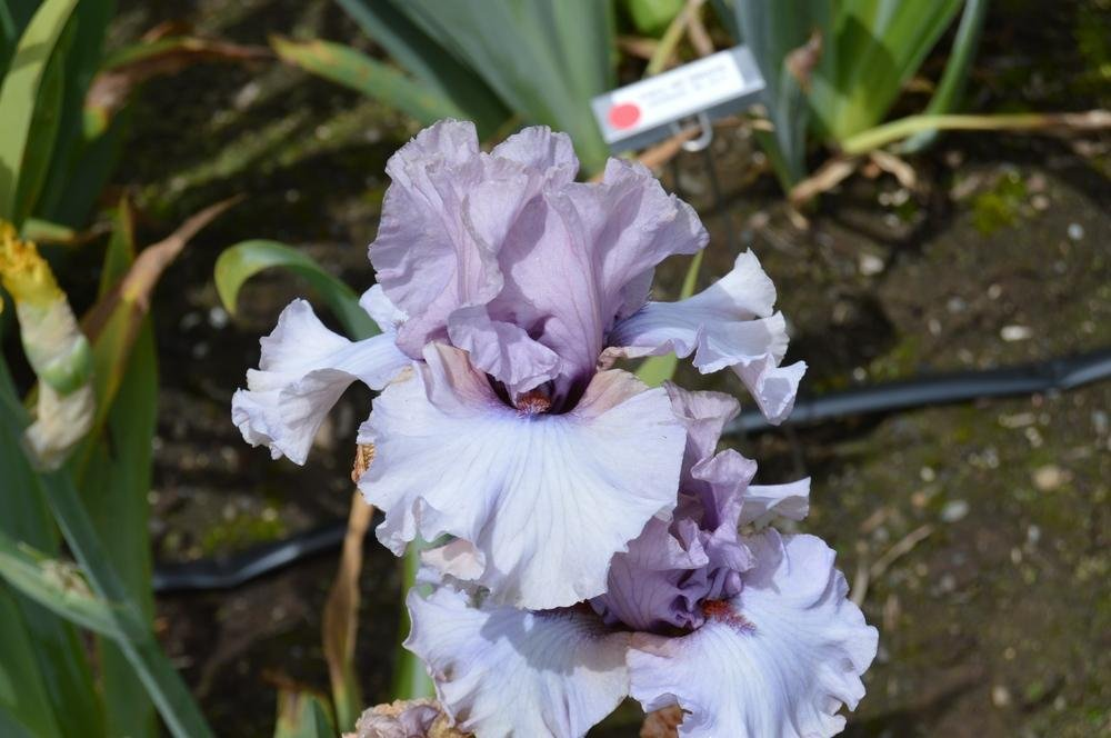 Iris-germanica-Dancing-Ghost-1