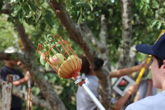 Сбор яблок плодосъемником