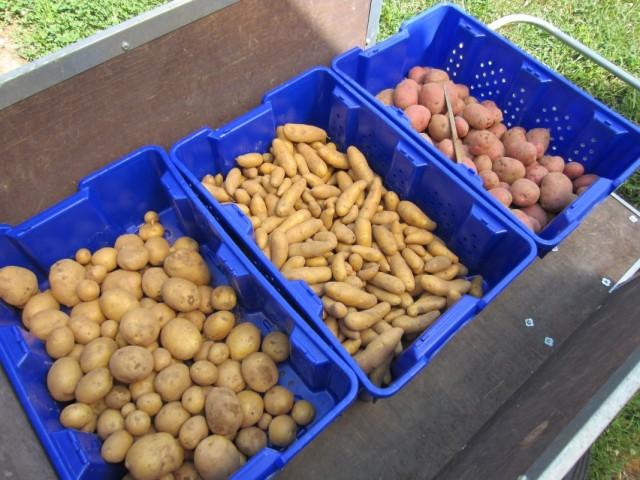 Отбираем и разделяем семенной картофель