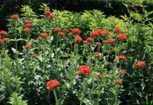 Зорька обыкновенная, или Зорька халцедонская, также Лихнис халцедонский (Lychnis chalcedonica)