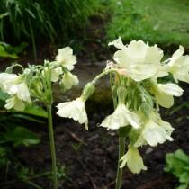 Примула альпийская (Primula alpicola)