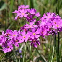Примула мучнистая (Primula farinosa)