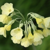 Примула сиккимская (Primula sikkimensis)