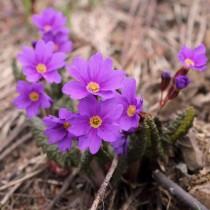 Примула Воронова (Primula woronowii)