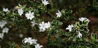 Серисса японская (Serissa japonica)