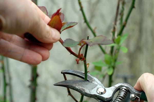Подготавливаем розы к укрытию на зиму