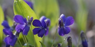 Фиалка душистая (Viola odorata)