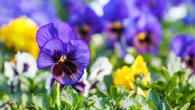 Фиалка Виттрока, или садовые анютины глазки (Viola × wittrockiana)