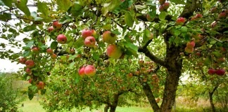 Яблоневый сад осенью