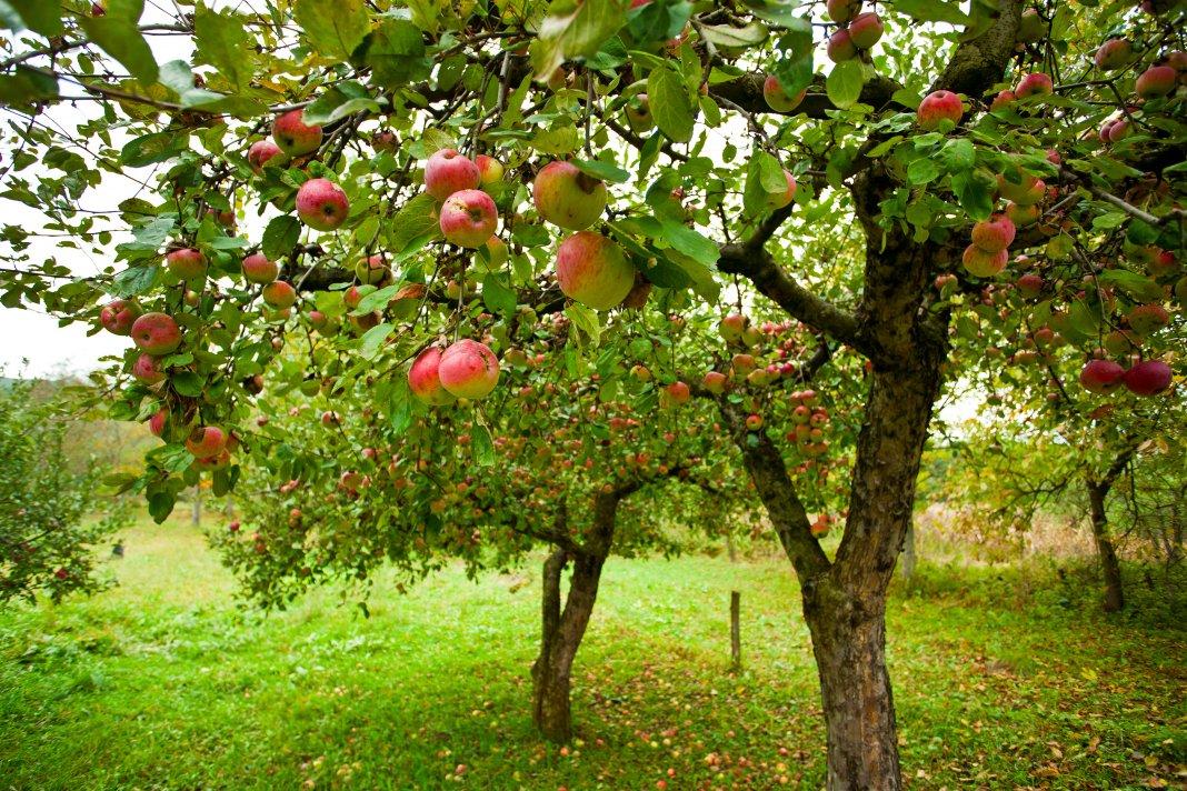 Чем осенью подкормить плодовые деревья и кустарники