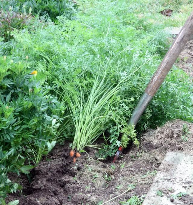 Выкопка моркови