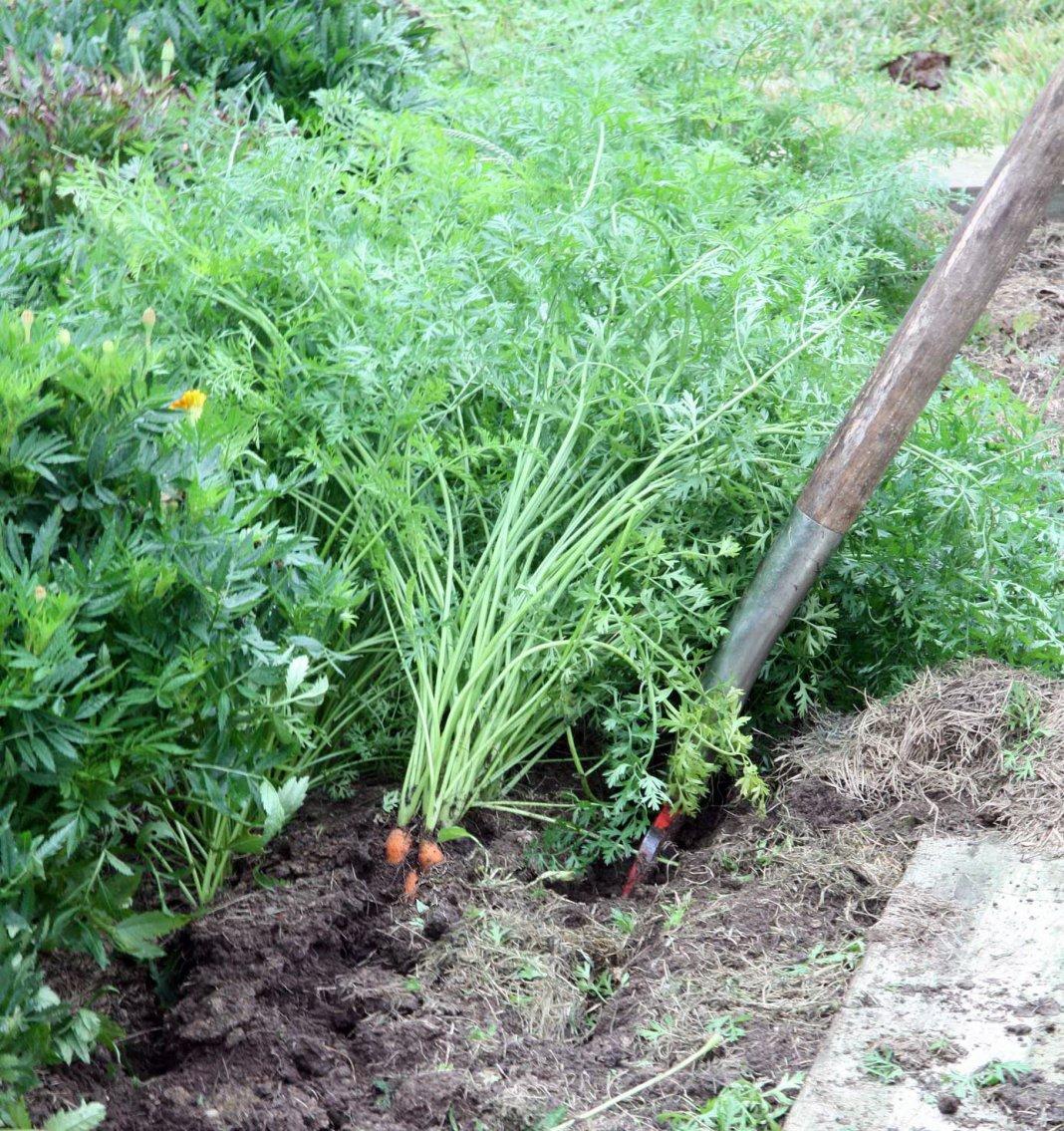 Морковь: выращивание, посадка и уход. Сорта моркови 37