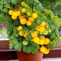Томат Жёлтая шапочка, выращиваемый в горшке