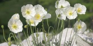 Мак альпийский (Papaver alpinum)
