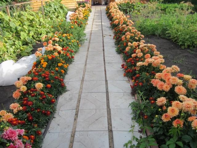 Цветник-бордюр из георгин и бархатцев вдоль дорожки