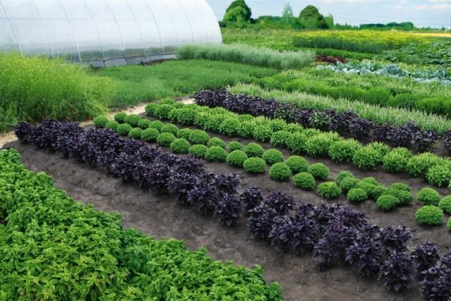 Селекция овощей от Агрофирмы АЭЛИТА
